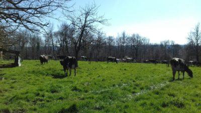 Pas de confinement pour nos vaches…